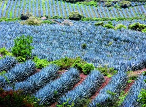 Campo de agave azul