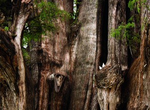 Anidando en el árbol del tule