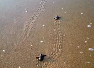 Tortugas golfinas negras