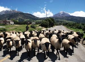 Borregos en la carretera Puebla-Poza Rica.