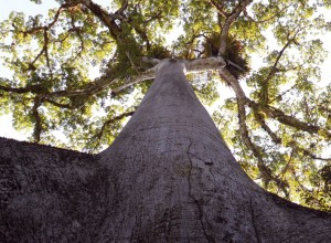 Ceiba, árbol sagrado maya