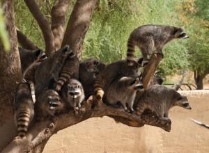 Mapaches. Centro Ecológico de Sonora