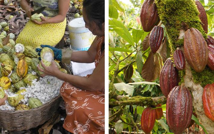 Cacao-Finca