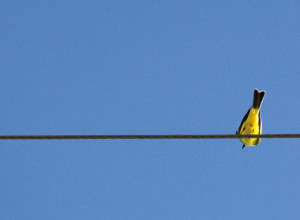 Gorrión pecho amarillo