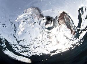 Petrel Hawaian. Tercer lugar, Fauna.