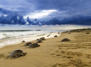 Arribazón de tortuga golfina.. Primer lugar, Paisajes y Ecosistemas.