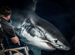 El gran tiburón blanco. Segundo lugar, Naturaleza y Ser Humano.