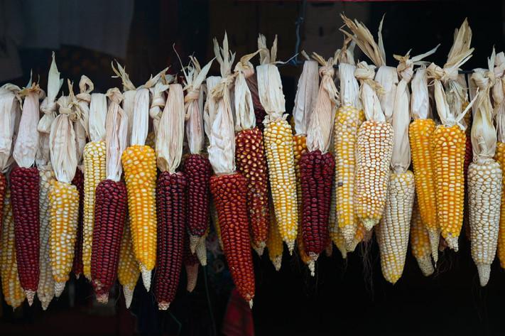 maíz _72