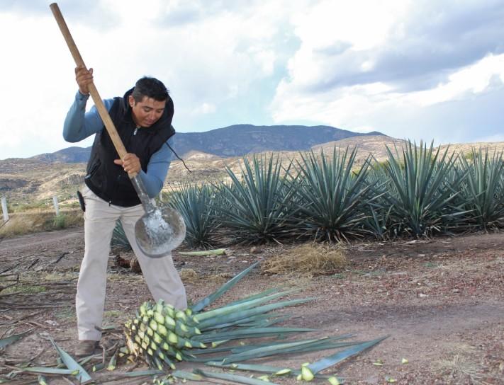Jima de agave Rancho El Coyote