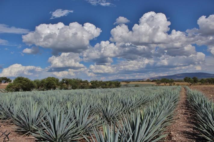 Plantío de agave Rancho El Coyote