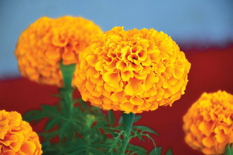 6 plantas ornamentales mexicanas mexican simo for Plantas ornamentales